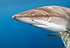 Silky shark_DSC7475.jpg