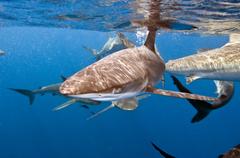 Silky shark_DSC7518.jpg