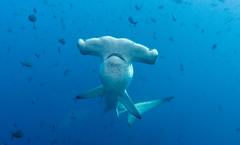 Hammerhai3.jpg