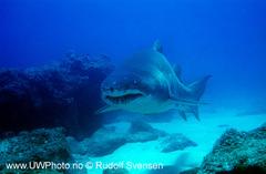 Sandtigerhai.jpg
