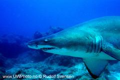 Sandtigerhai1.jpg