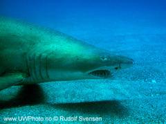 Sandtigerhai2.jpg